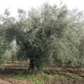 pianta ulivo peranzana