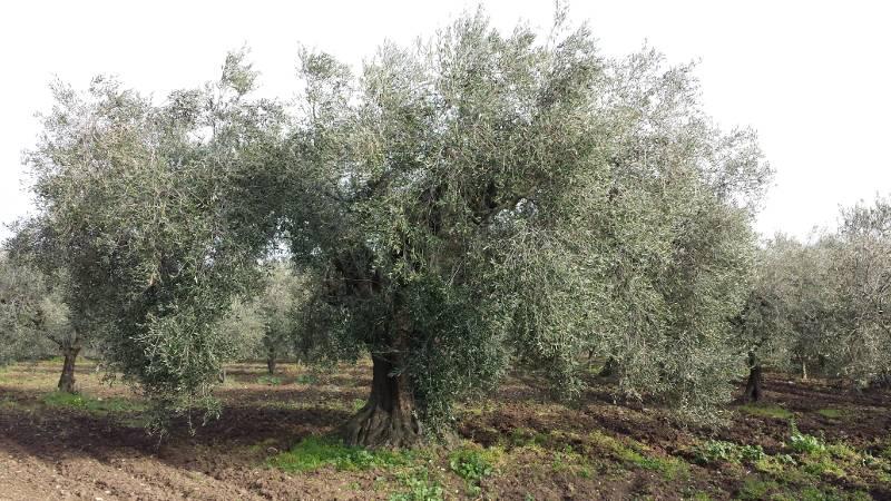 Acquisto olio pugliese di peranzana lattina 5 litri for Acquisto piante olivo
