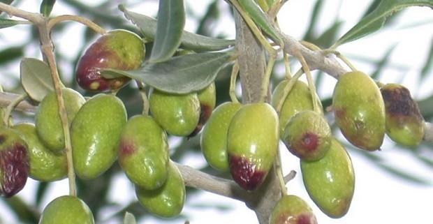 difendersi dalla mosca dell'ulivo