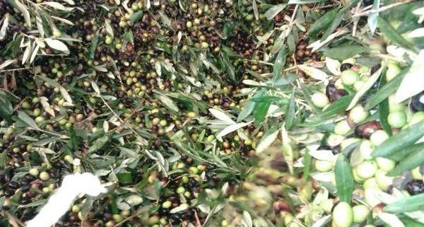 Raccolta olive per garantire un olio extra vergine pugliese di qualità