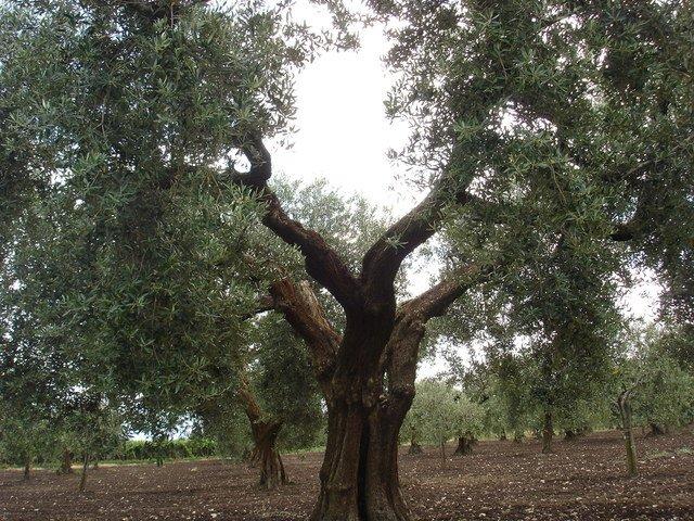 uliveto di peranzana in Puglia