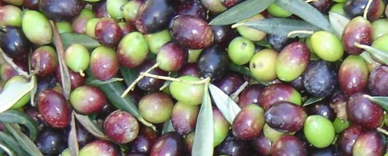 olive da tavola Peranzana
