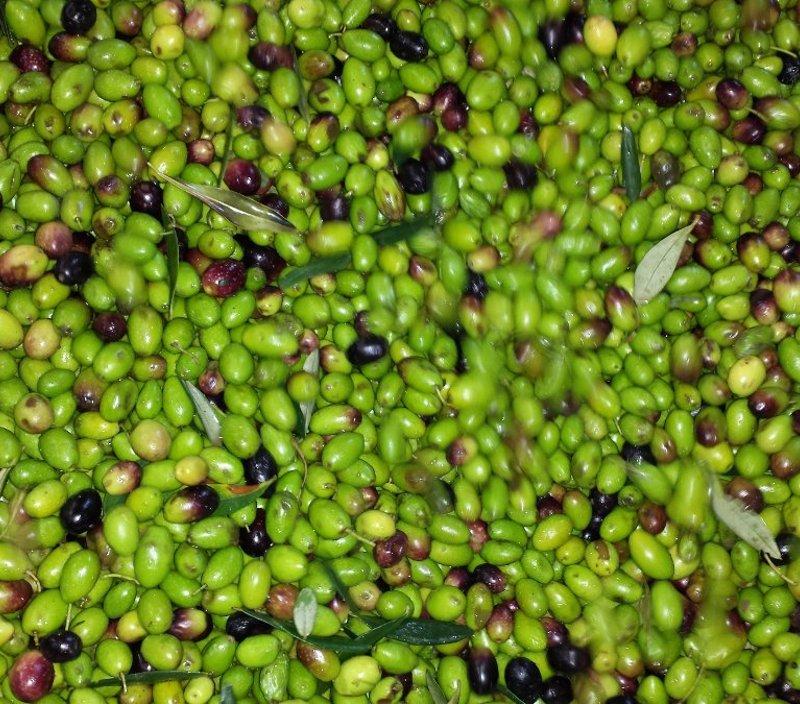 Olive per la produzione di oio pugliese
