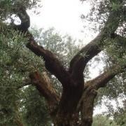 la coltivazione della pianta dell'ulivo