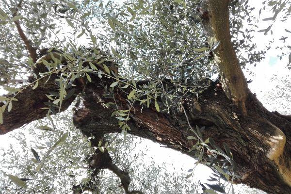 uliveto di peranzana Puglia