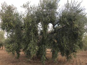 produzione olive biologiche puglia