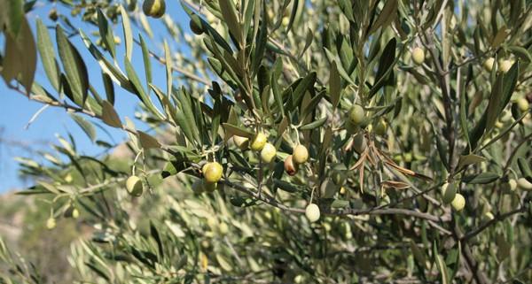 acquisto olio o acquisto olive? Il dilemma dei consumatori