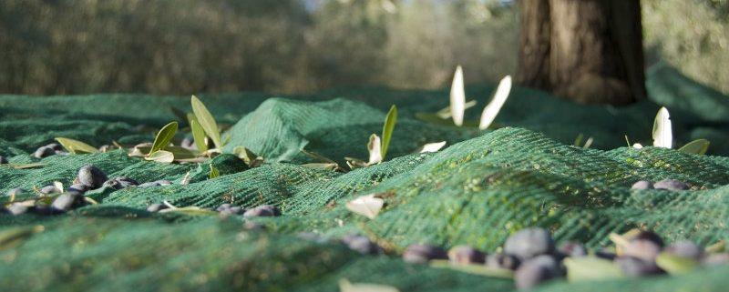 Periodo raccolta delle olive