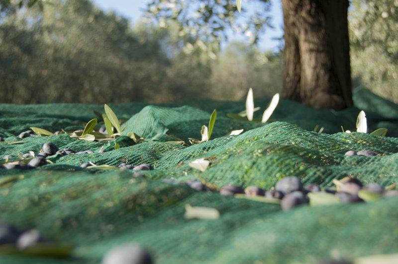 raccolta olive olio cristofaro