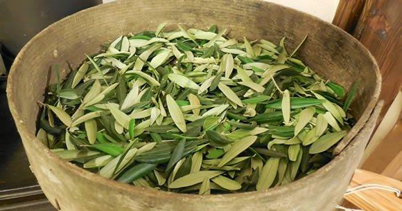 tisane con foglie di olivo