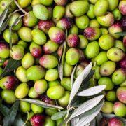 profilo sensoriale olio olive Peranzana