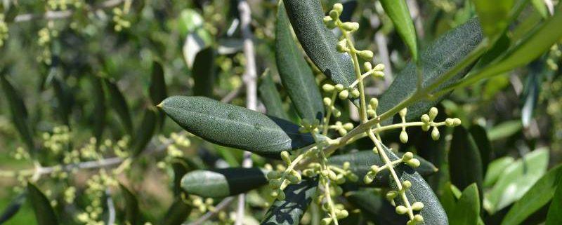 perchè coltivare le olive in biologico