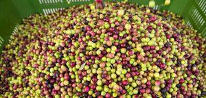 conservazre olive dopo il raccolto