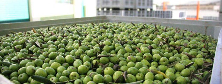 prezzo delle olive da olio al quintale