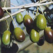 diffusione cultiva e olivicoltura