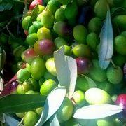 olive verdi e semimature