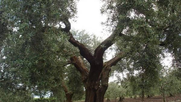 coltivazione uliveto in Puglia