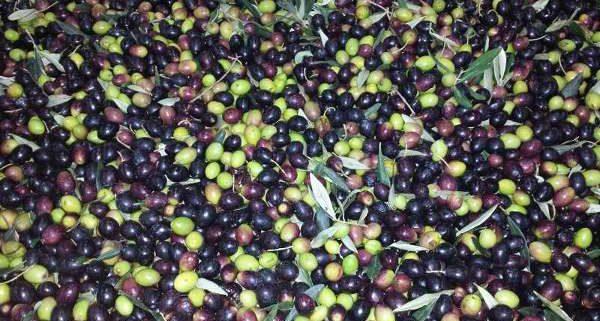 olio di oliva monocultivar