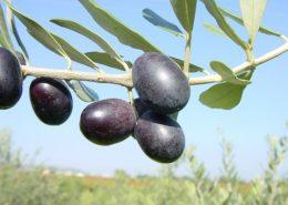 le cultivar della provincia di Foggia