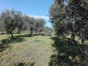 concimazione organica delle olive