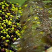 cosa si ottiene con le olive?