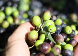cosa è l'olio di oliva denocciolato