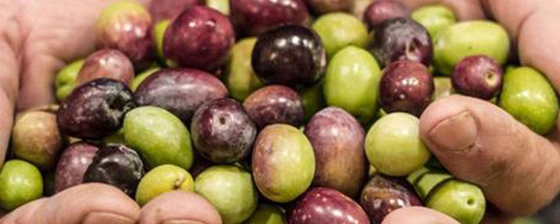 olio coratina caratteristiche e benefici