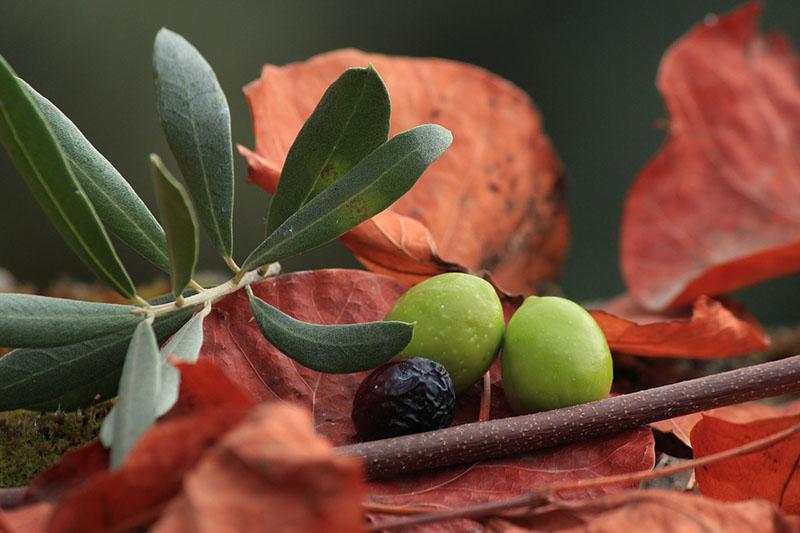 Olive: valori nutrizionali e proprietà terapeutiche