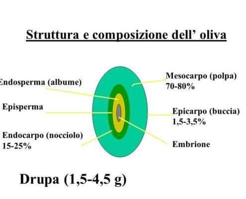 La struttura dell'oliva