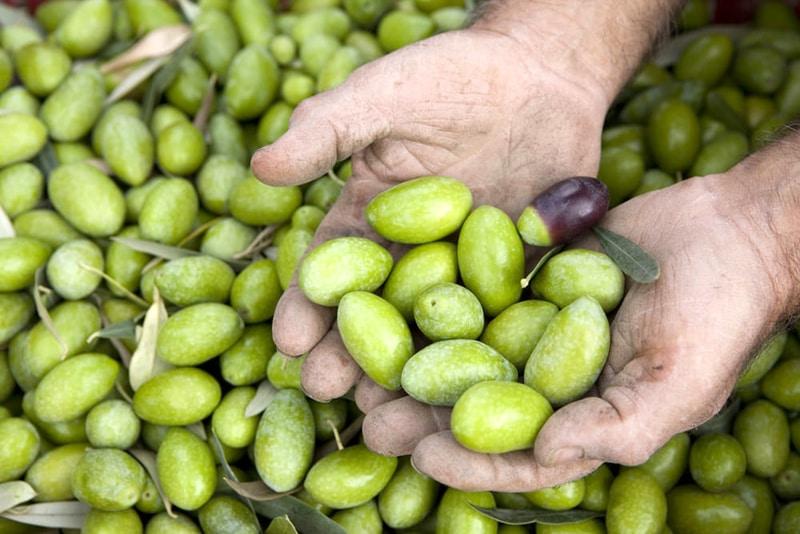 Oliva Bella di Cerignola: dalla pianta alla tavola