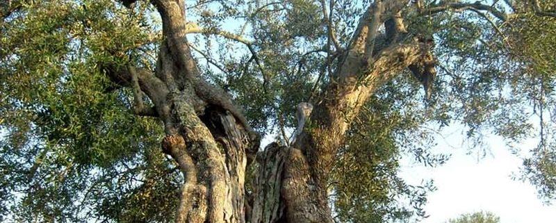 Ogliarola Garganica: l'oliva del Gargano!