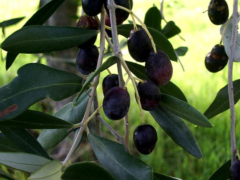 Rotondella: la Cultivar del Sud Italia!
