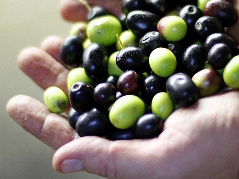 La Resa delle Olive da cosa dipende?