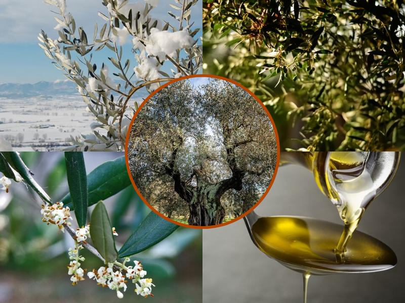 Le 4 stagioni dell'Olivo e dell'Olio di Oliva